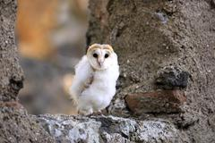 Common barn owl Tyto alba fledgling sitting on wall Kasselburg Eifel Germany Stock Photos