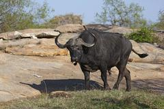 Stock Photo of African buffalo or Cape buffalo Syncerus caffer male Kruger National Park South