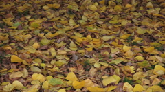 Slow pan vivid yellow leaves on ground _ Backgrounds and textures _ Fall Autumn Stock Footage