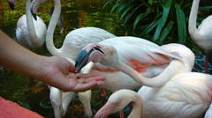 Coseup of Flamingos Eating from Tourist's Hand at Petting Zoo Stock Footage