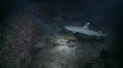 White tip reef shark hunting on coral reef  at night Stock Footage