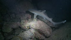 White tip shark hunting at night Stock Footage