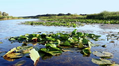 Swamp and floating leaves Stock Footage