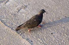 Bird pigeon walks on pavement Stock Photos