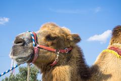 Head of camel against blue sky - stock photo