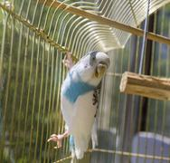 Blue and white parrot in golden cage Stock Photos
