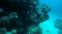 big Angelfish on the coralreef - stock footage