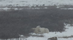 Slow Motion - Two Polar Bears Cuddle in the Willows Stock Footage