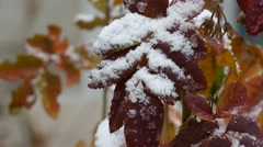 Snow on yellow leaves of tree late autumn the first snow macro nature Stock Footage