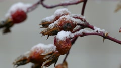 Dog-rose wild macro autumn nature snow lies on the berries of the first snow Stock Footage