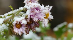 Frozen macro flowers nature first snow fall Stock Footage