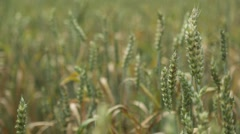 A Beautiful Field Of Wheat In The Breeze Stock Footage