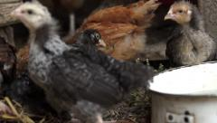 Small chickens pecking some plants outdoor Stock Footage