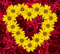 Heart of yellow flowers of decorative sunflowers Helinthus and red roses Stock Photos