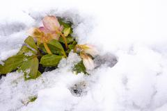 White and pink flower hellebore in snow Stock Photos