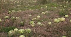 Watermelon field pan wide - stock footage