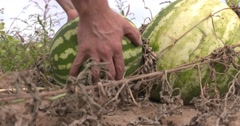 Watermelon harvest low shot - stock footage