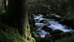 Streamside moss in forest undergrowth - stock footage