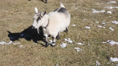 Cute of herd little pigmy goats on a country farm Stock Footage