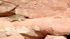 Little mouse running along sandstone wall glen canyon Utah Stock Footage