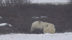 Slow Motion - Polar Bears Wrestling and Sparring Stock Footage