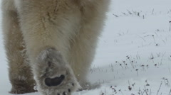 Slow motion - Polar Bear Rump Walking Away Stock Footage