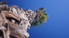 PALM TREE BLOWING IN HIGH WIND.  Stock Footage