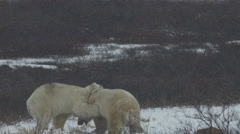 Wounded Polar Bear Spars with Large Male Stock Footage