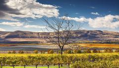 Yellow Leaves Vines Rows Grapes Wine Green Grass Autumn Red Mountain Benton C Stock Photos