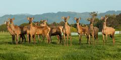 Stock Photo of Deer Farming New Zealand