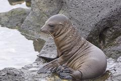 Stock Photo of Baby Sea Lion on the Rocks