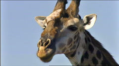 Giraffe closup of face and neck South Africa Stock Footage