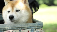 Shiba Inu dog in a city park Stock Footage