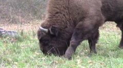 Buffalo grazing on forest pasture Stock Footage