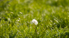 Dandelion moves on the wind Stock Footage