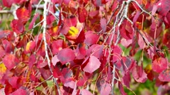 Populus leaves in autumn, indian summer Stock Footage