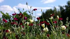 Poppy field in summer Stock Footage