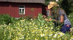 Female herbalist pick camomile herbs flower bloom to wicker dish. 4K Stock Footage
