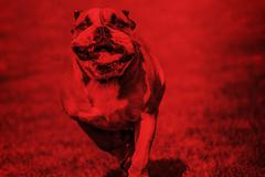Running bulldog red overlay - stock photo