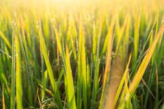 Water drops of dew on rice grass in the morning,blur and soft focus. - stock photo