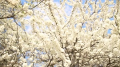 Beautiful apple tree branch Stock Footage