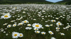 Chamomile flowers meadow Stock Footage