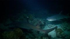 jack & reef sharks crusing reef at night - stock footage