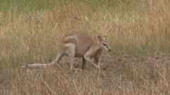 Stock Video Footage of Agile Wallaby feeding on grass field 1