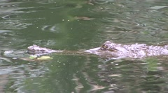 Australian Freshwater Crocodile swiming on surface 3 - stock footage