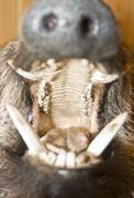 Opened mouth of wild boar. Stuffed animal - stock photo