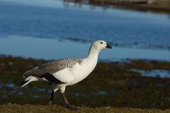 Male Upland Goose Stock Photos