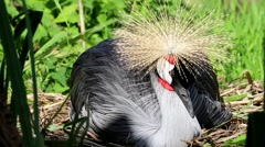 Grey Crowned Crane on a Nest Stock Footage