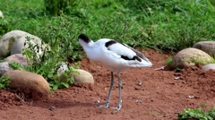 Avocet standing on sandy ground. Preening. Stock Footage