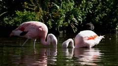 Chilean Flamingo ( Phoenicopterus Chilensis ) At Martin Mere WWT, Lancashire UK - stock footage